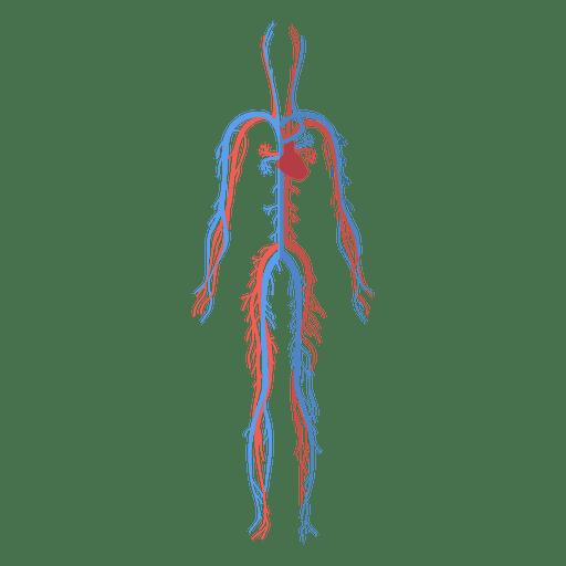 Health circulatory system cardiovascular system blood human body ...