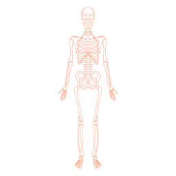 Anatomieknochen des Skelettsystems
