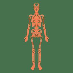 Ossos da anatomia do sistema esquelético