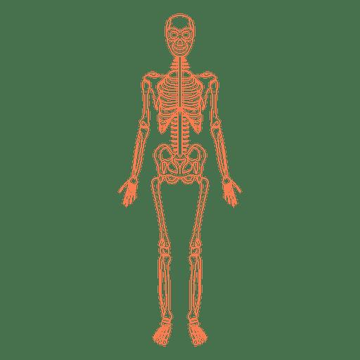 Huesos de la anatomía del sistema esquelético - Descargar PNG/SVG ...