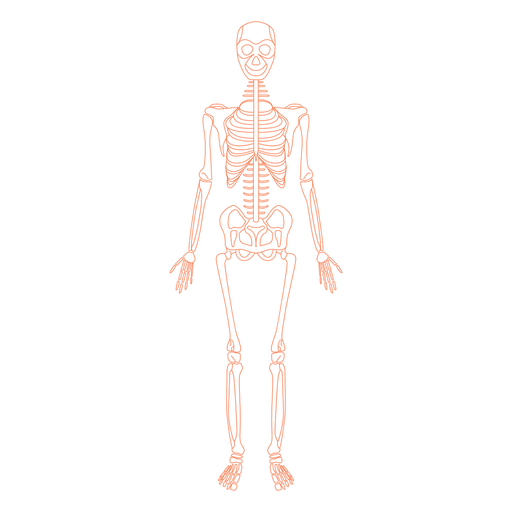 Skeletal system anatomy bones - Transparent PNG & SVG vector