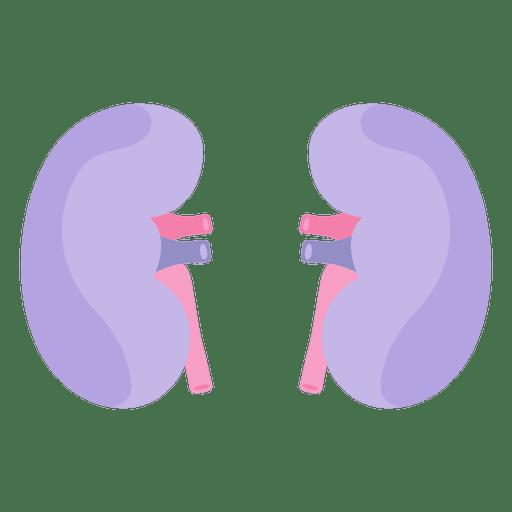 Órgano humano del riñón Transparent PNG