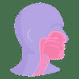 Anatomia bucal