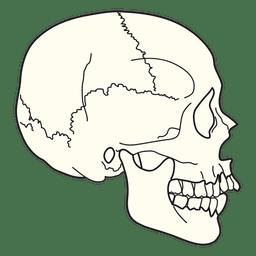 Ilustração médica crânio vista lateral