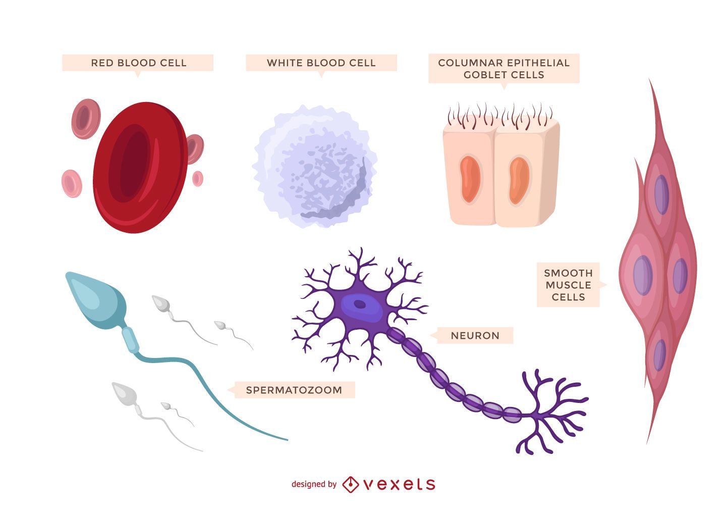 Conjunto ilustrado de células humanas.