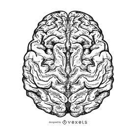 Ilustração do cérebro isolado