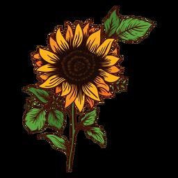 Sonnenblume zeichnen