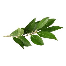 Bay leaf herb illustration