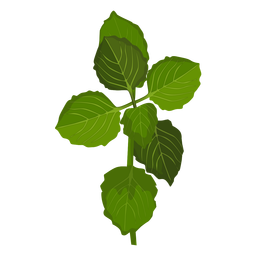 Schisandra leaves illustration