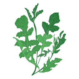 Arugula rucola herb illustration