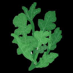 Ilustración de la rúcula rucola hierba