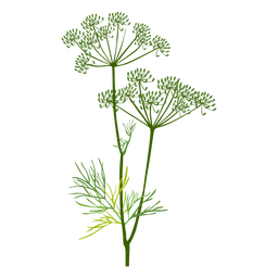 Dill herb illustration