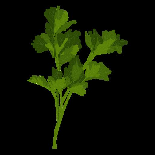 Garden parsley herb illustration