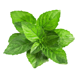 Mint herb illustration