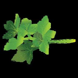 Ilustración de hierba de perejil