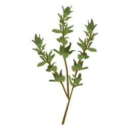 Ilustração da erva do tomilho