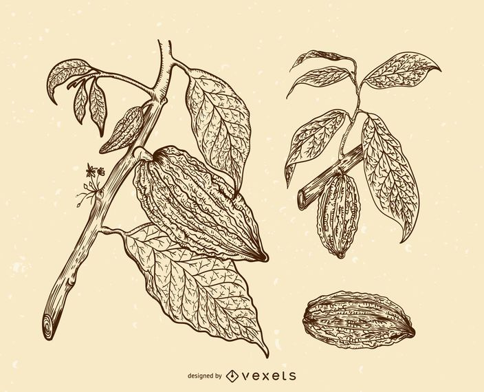 Cacao fruits illustration set