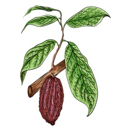 Cacao fruit branch illustration