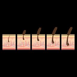 Haarwuchszyklus