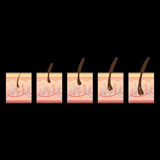 Ciclo de crecimiento del cabello