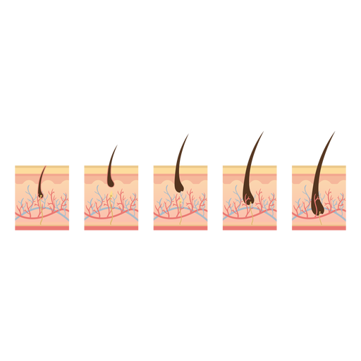 Hair growth cycle Transparent PNG