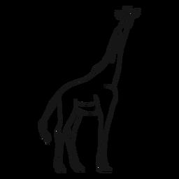 Boceto jirafa cola altura largo ossicones.