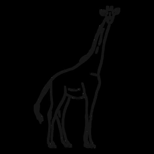 Boceto jirafa cola altura largo ossicones. Transparent PNG