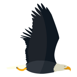 Bald eagle flying flat