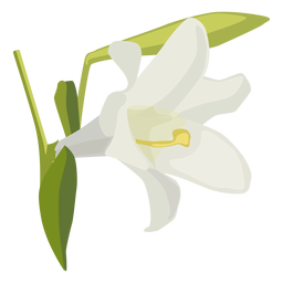 Lily Blütenknospe Blütenblatt flach