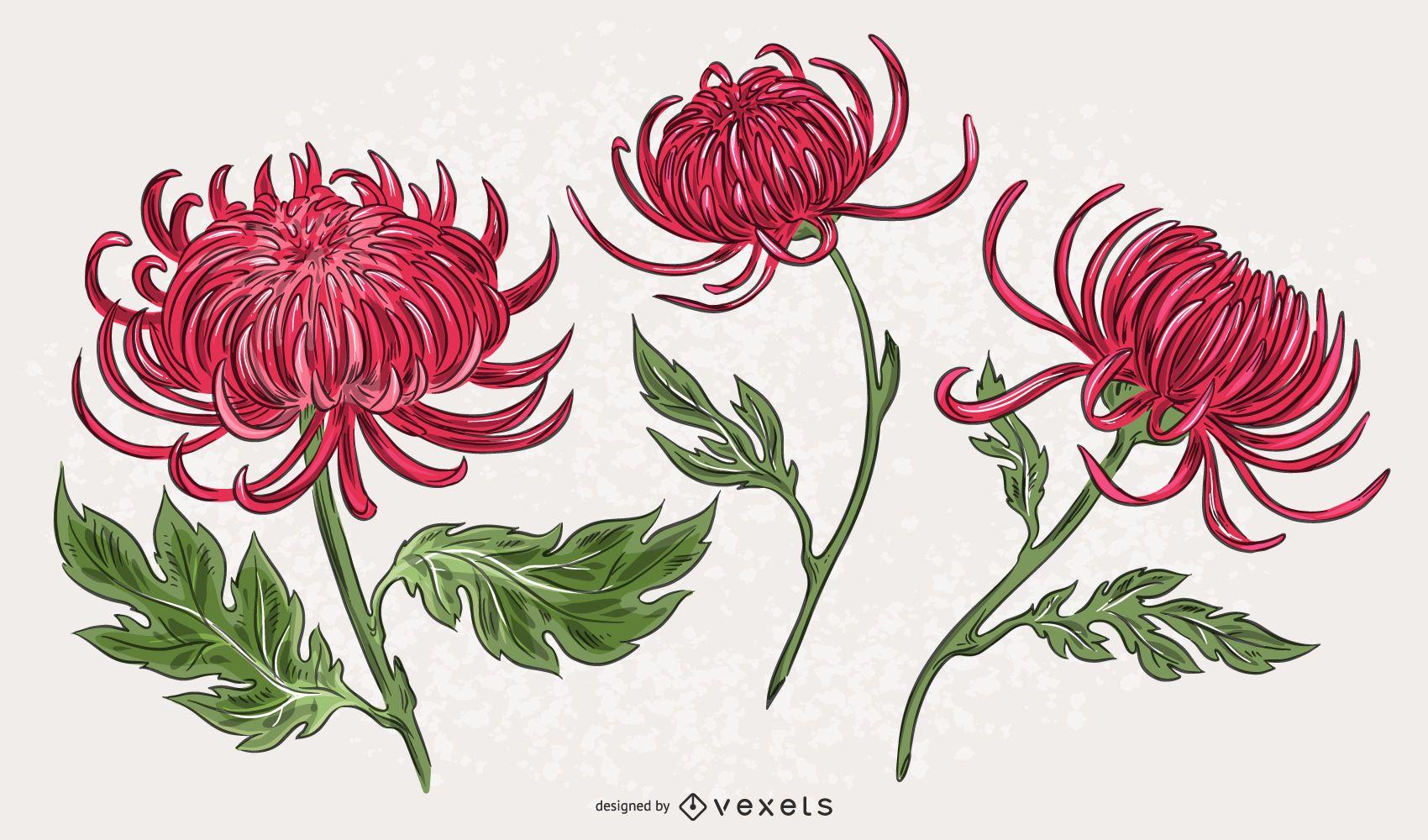 Conjunto de ilustración de crisantemo rosa