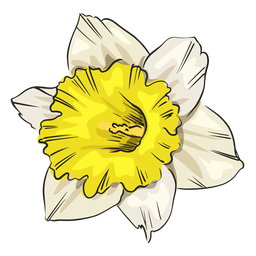 Narcissus white flower front
