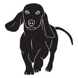 Dachshund dog walking black