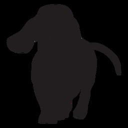 Perro Dachshund caminando negro