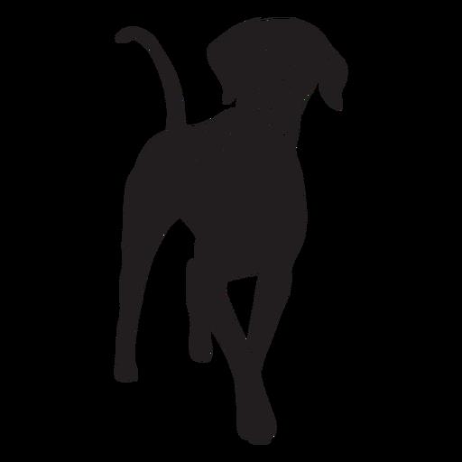 Happy weimaraner dog black