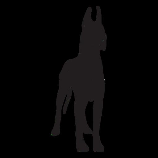 Standing great dane dog black