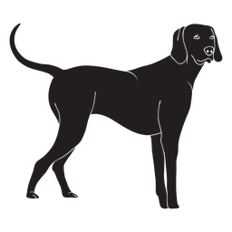 Standing weimaraner dog black