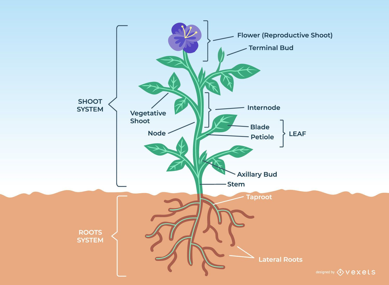 Diseño de anatomía de plantas de flores
