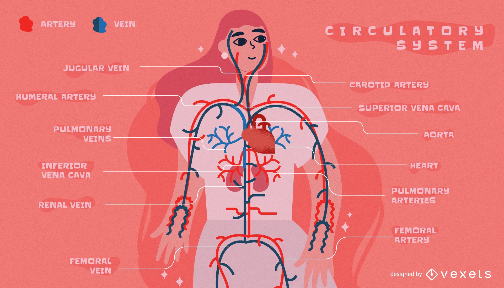 Circulatory system infographic template