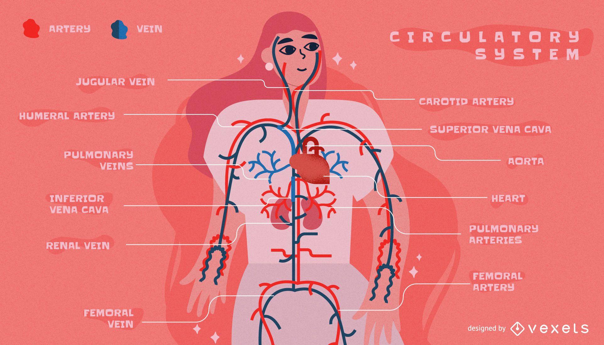 Plantilla de infograf?a del sistema circulatorio