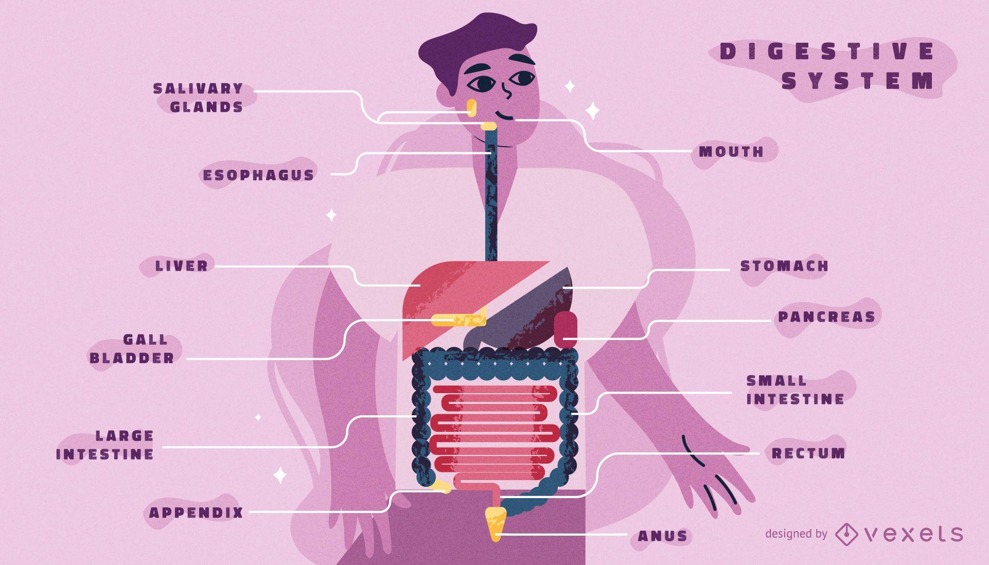 Plantilla de infograf?a del cuerpo del sistema digestivo