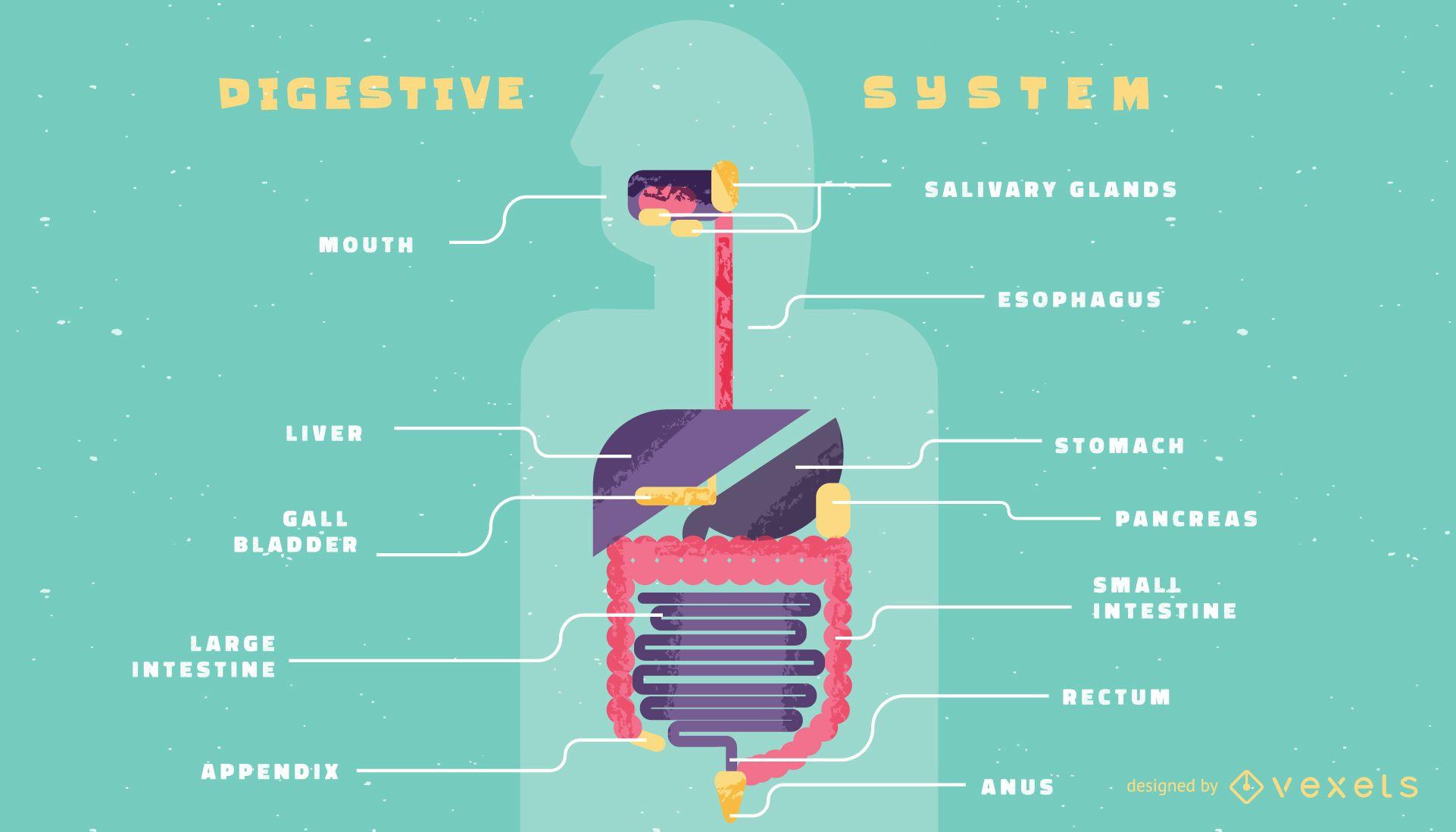 Plantilla de infograf?a del sistema digestivo humano