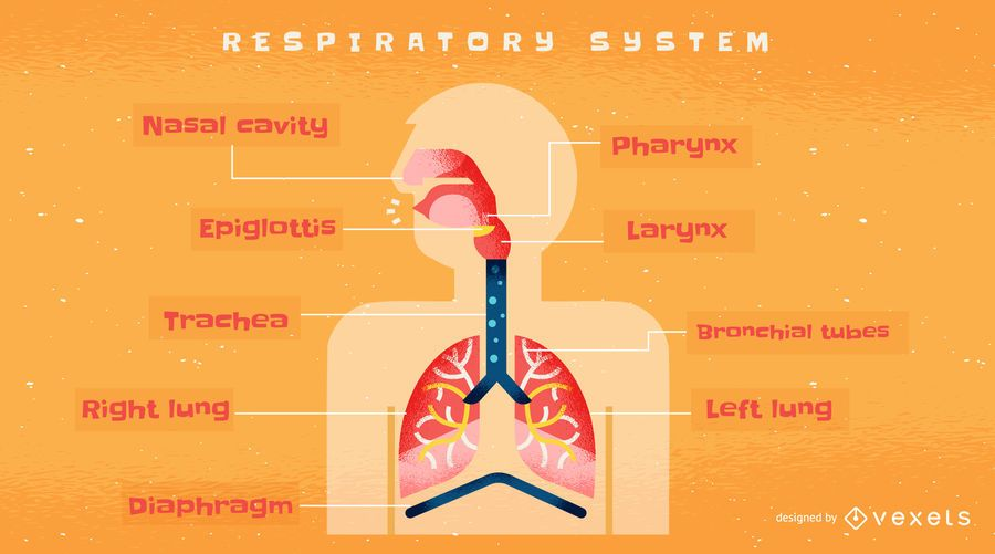 Human respiratory system infographic template