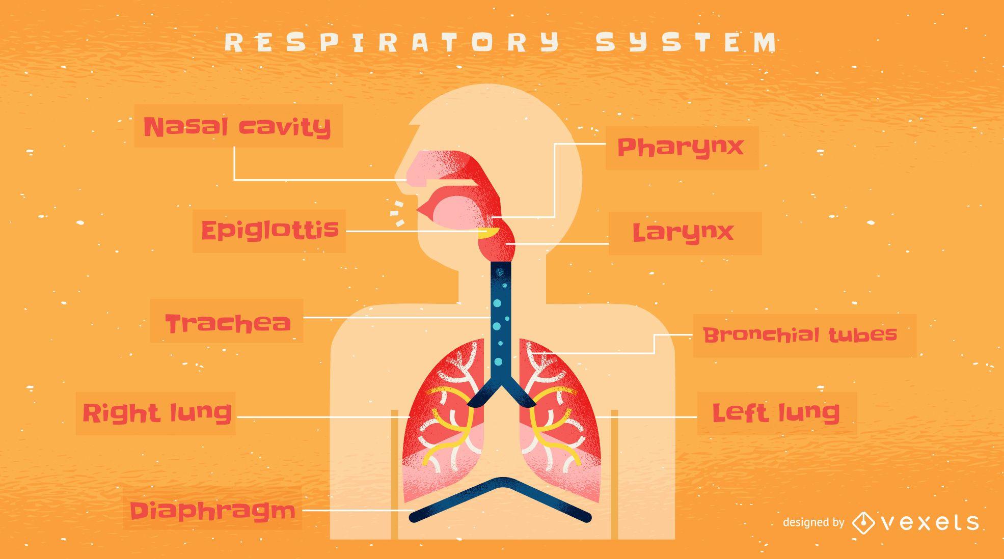 Plantilla de infograf?a del sistema respiratorio humano