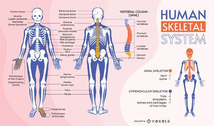Human skeletal system infographic template