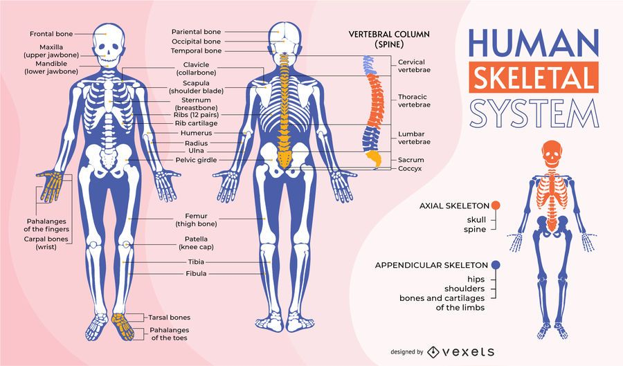 Plantilla de infografía del sistema esquelético humano