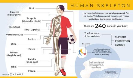Plantilla de infografía de esqueleto humano