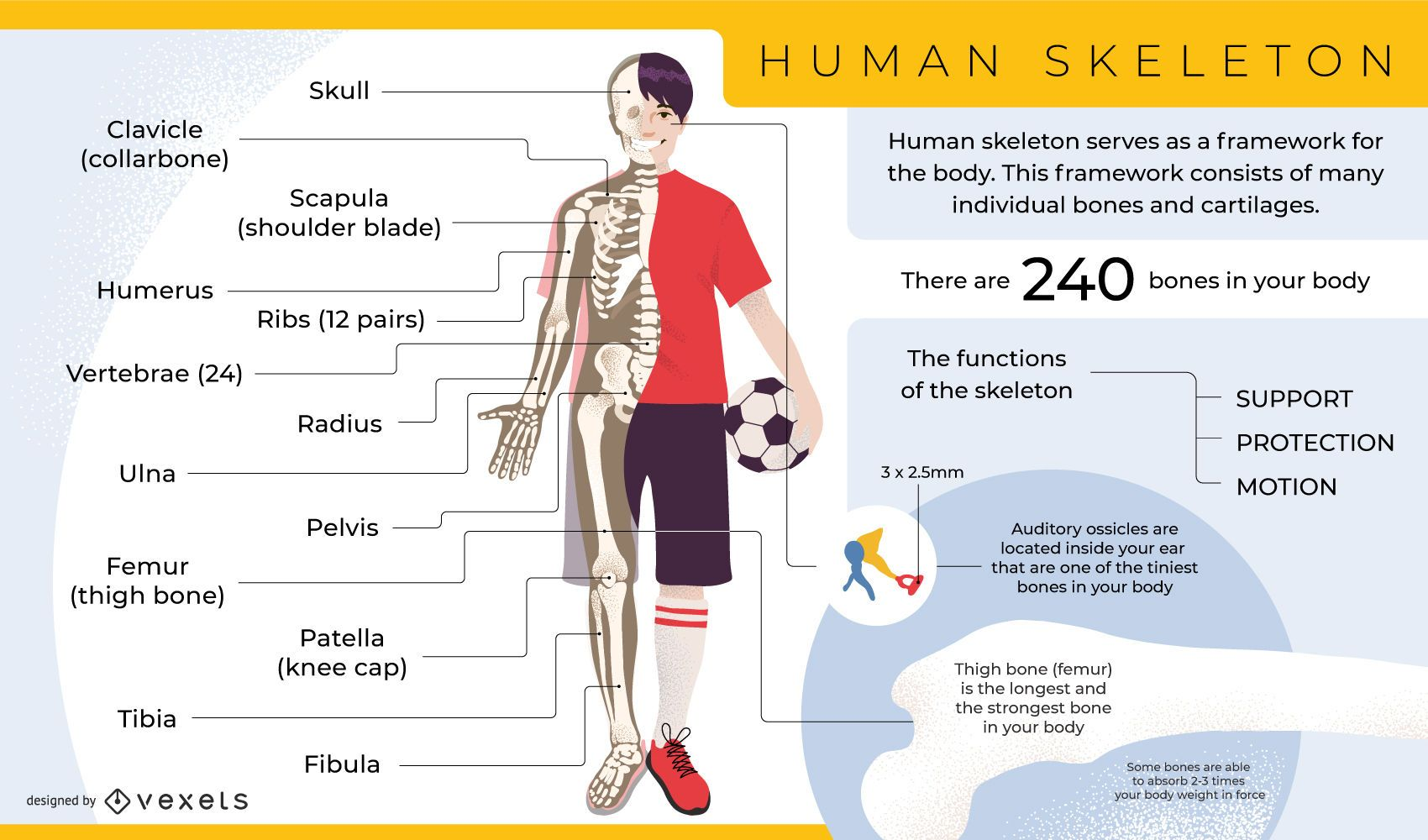 Human skeleton infographic template