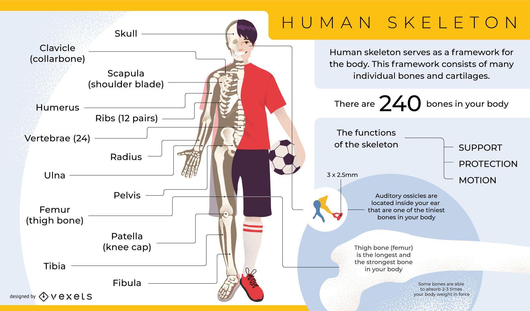 Plantilla de infograf?a de esqueleto humano