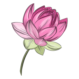 Chinese pink lotus flower
