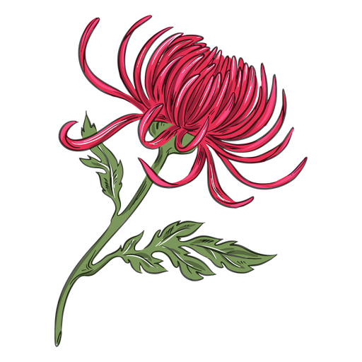 Pretty red crysanthemum flower Transparent PNG